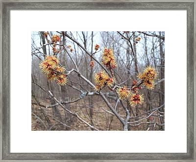 Red Maple In Flower Framed Print