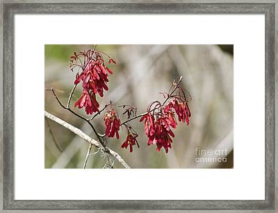 Red Maple In Spring Framed Print