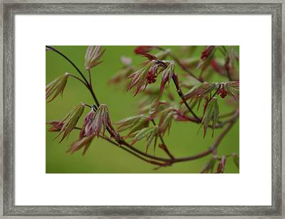 Framed Print featuring the photograph Red Maple by Kelly Hazel