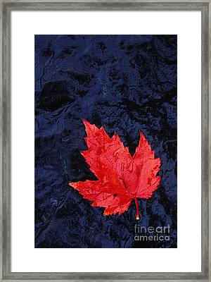 Red Maple Leaf And Black Stone - Fs000222 Framed Print by Daniel Dempster