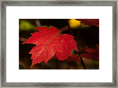 Red Maple Leaf In Fall Framed Print by Brenda Jacobs