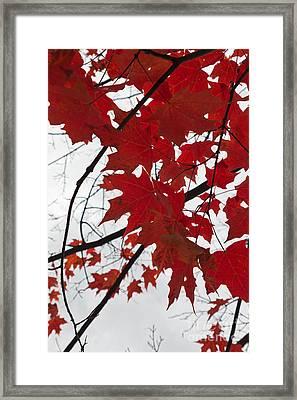 Red Maple Leaves Framed Print by Ana V Ramirez
