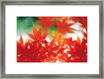 Red Maple Leaves Framed Print by Panoramic Images