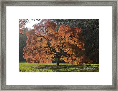 Red Maple Framed Print by Linda Asparro