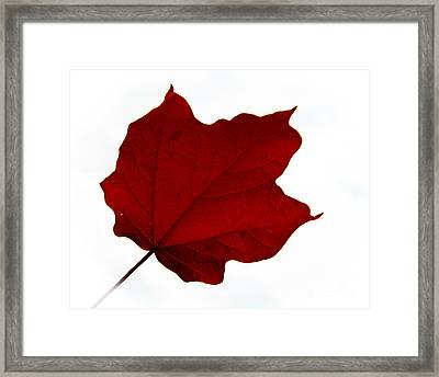 Red Maple Now Framed Print by Tina M Wenger