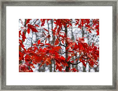 Red Maple Tree Framed Print by Alexander Senin