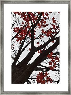 Red Maple Tree Framed Print by Ana V Ramirez