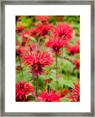 Red Monarda 2 Framed Print by Rob Huntley