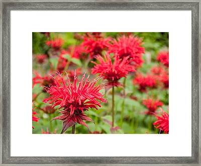 Red Monarda Framed Print by Rob Huntley