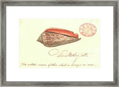 Red-mouthed Stromb Framed Print by Natural History Museum, London