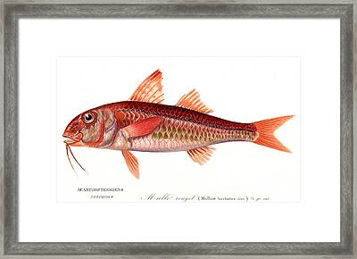 Red Mullet Framed Print by Collection Abecasis