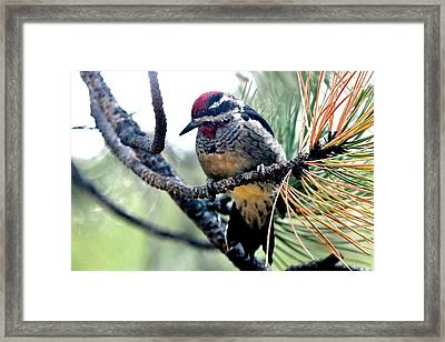 Red-naped Sapsucker On Pine Tree Framed Print by Marilyn Burton