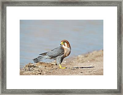 Red-necked Falcon Framed Print by Tony Camacho