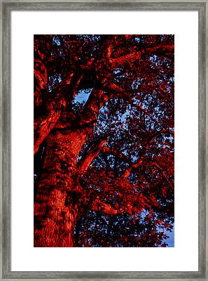 Red Oak  Framed Print