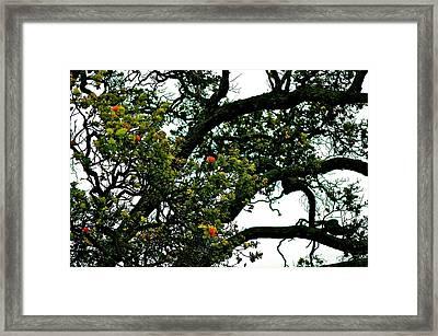 Red Ohia Lehua Tree Framed Print