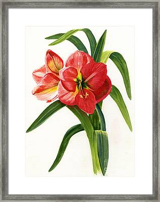 Red-orange Amaryllis Framed Print by Sharon Freeman