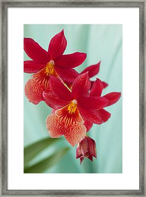 Red Orchids On Blue Framed Print by Bonita Hensley