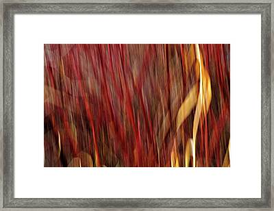 Red Osier Dogwood Framed Print by Theresa Tahara