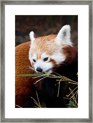 Red Panda  Ailurus Fulgens In Captivity Framed Print