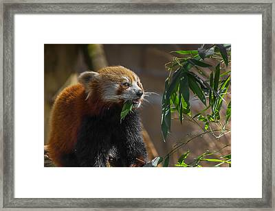 Red Panda Cafeteria Framed Print by Chris Fletcher