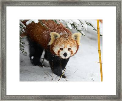 Red Panda In The Snow Framed Print