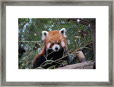 Red Panda Framed Print by Jade Thomas