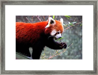 Red Panda Framed Print by Martin Newman