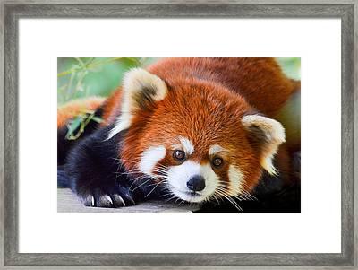 Red Panda Framed Print by Michael Hubley