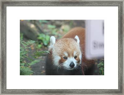 Red Panda - National Zoo - 01132 Framed Print by DC Photographer