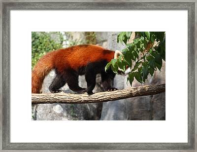 Red Panda - National Zoo - 01137 Framed Print