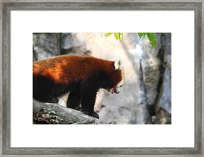 Red Panda - National Zoo - 01139 Framed Print by DC Photographer