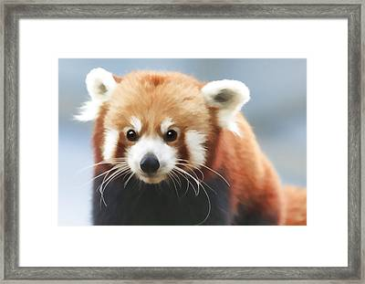 Red Panda Staring Framed Print