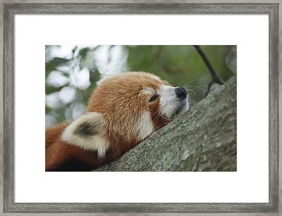 Red Panda Zen Framed Print by Leigh Ann Hartsfield