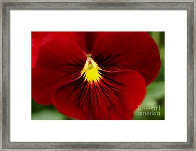 Red Pansy Framed Print by Nur Roy