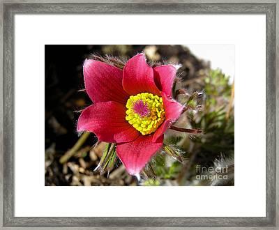 Red Pasque Flower - Closeup Framed Print