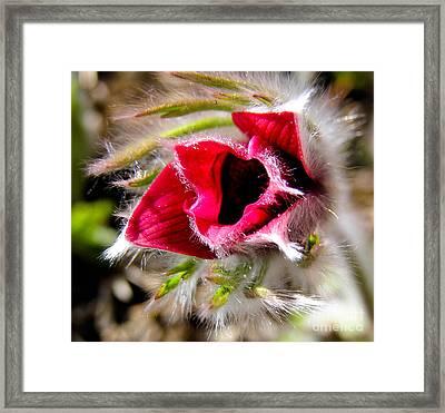 Red Pasque Flower In Sunlight - Closeup Framed Print