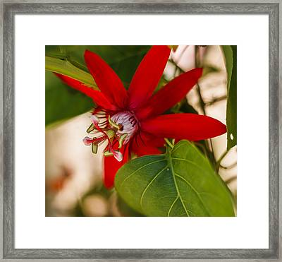 Framed Print featuring the photograph Red Passion Flower by Jane Luxton