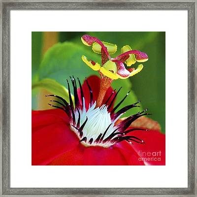 Red Passion Flower Framed Print by Karen Anderson