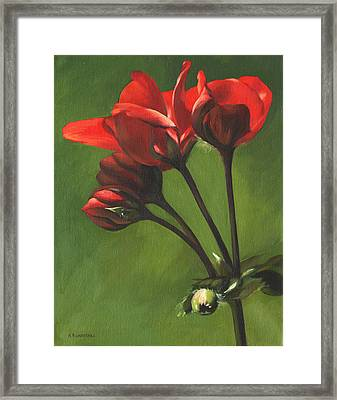 Red Pelargonium Framed Print