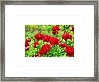 Red Peonis Framed Print by Elaine Manley