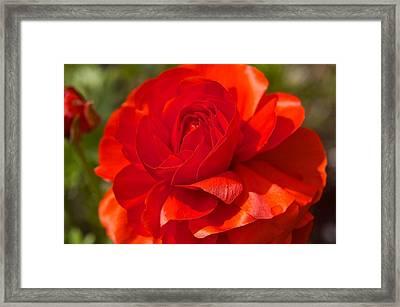 Red Peony Framed Print by Sharin Gabl