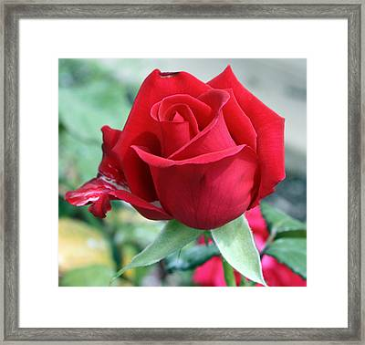 Red Perfection Framed Print