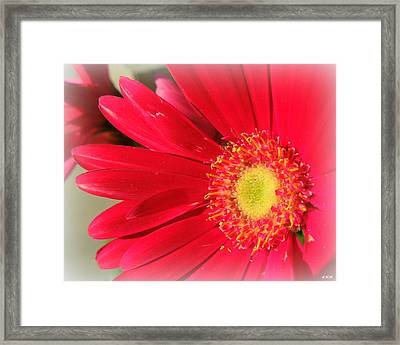 Red Petaled Gerbera Framed Print
