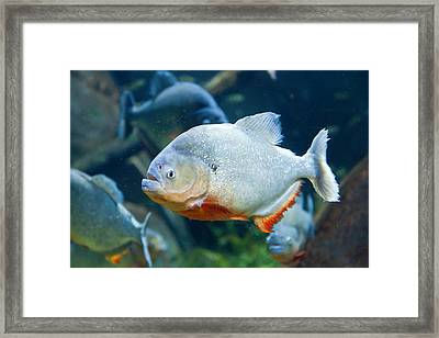 Red Piranha Framed Print
