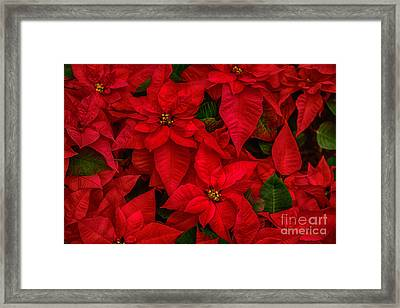 Red Poinsettia Christmas Star Hdr Framed Print by Iris Richardson