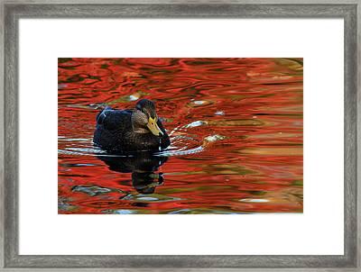 Red Pond Framed Print by Karol Livote