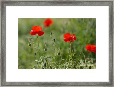 Red Poppies 2 Framed Print by Carol Lynch