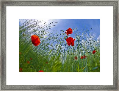 Red Poppies And Blue Sky Framed Print by Melanie Viola