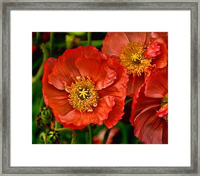 Red Poppies At Fort Worth Botanic Gardens Framed Print