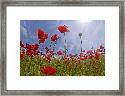Red Poppy And Sunrays Framed Print by Melanie Viola